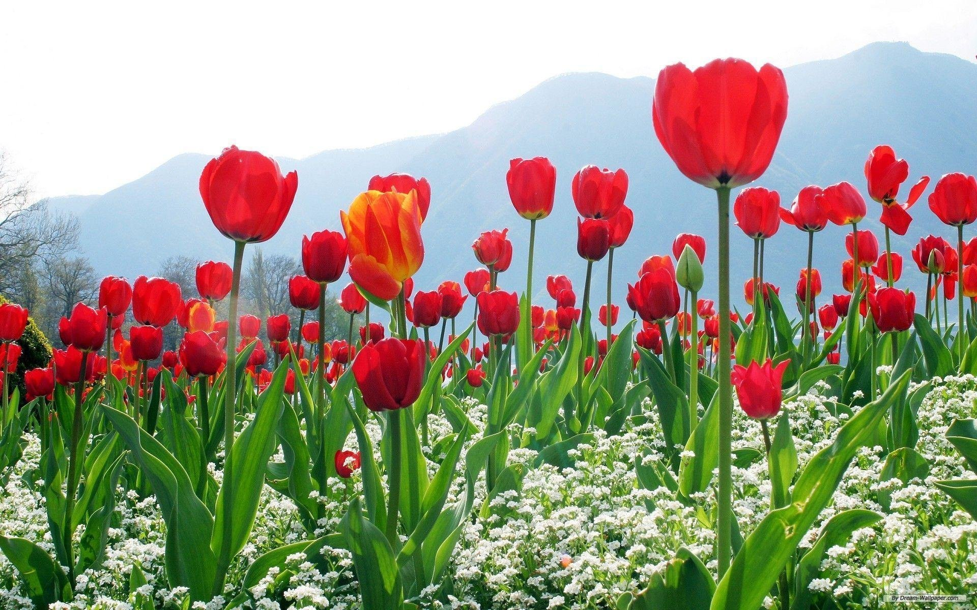 Kashmir Tulip Festival – 03 Nights & 04 Days